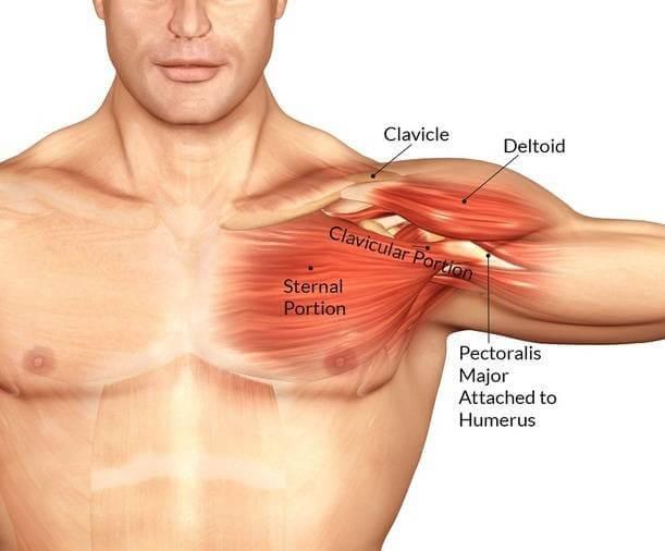 chest anatomy muzcle